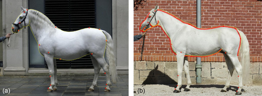 Shape model for phenotyping the horses On the Lipizzan stallion a 31 single landmarks
